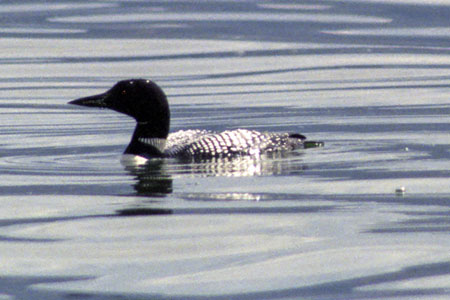 Common Loon 003