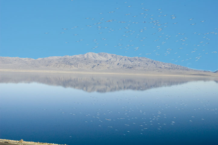Pelicans flying over Walker Lake, NV